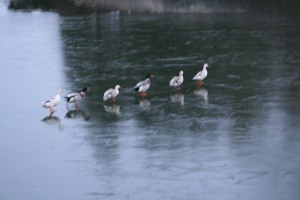 Caen Flight ducks on ice 2