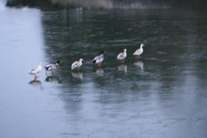 Caen Flight ducks on ice 2