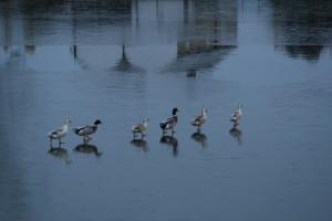 Caen Flight ducks on ice 1
